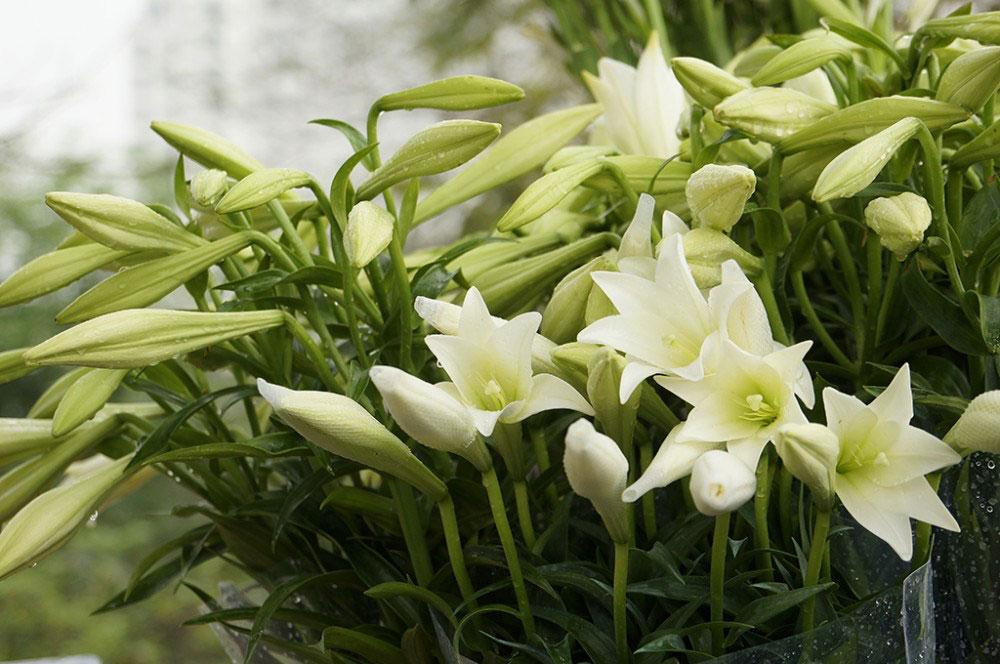 Hoa loa kèn mùa hạ