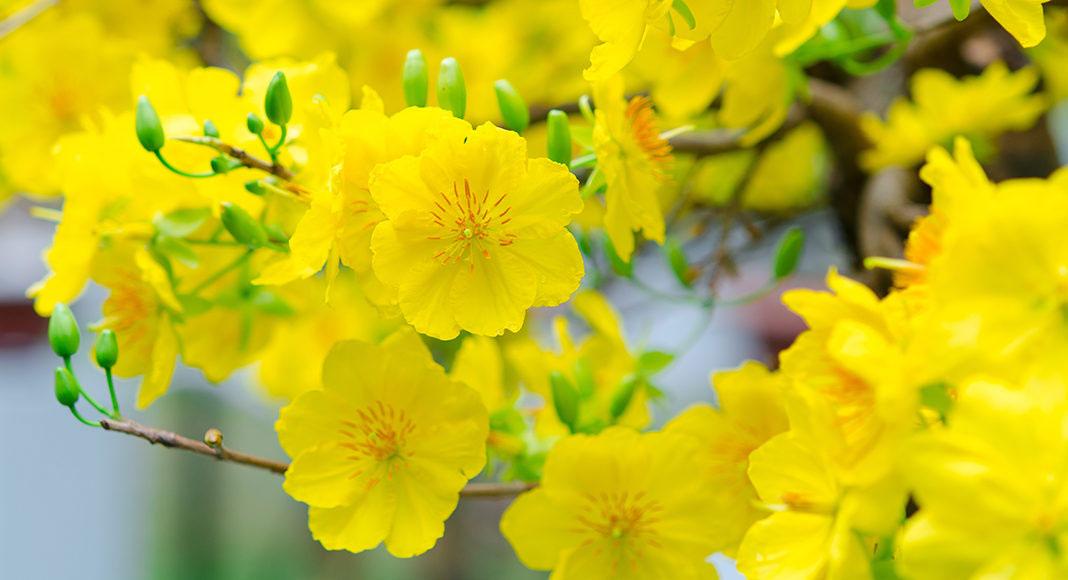 Hoa mai tượng trưng cho mùa xuân