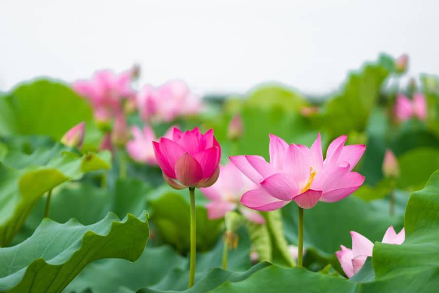 Hoa sen mùa hạ