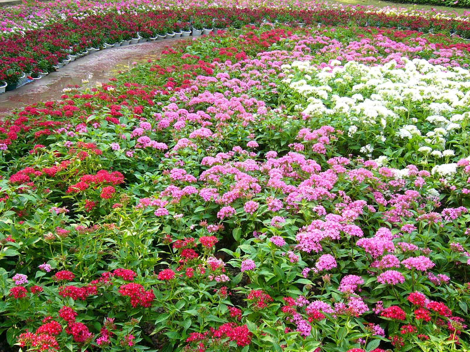 cách trồng và chăm sóc hoa cúc diễm châu