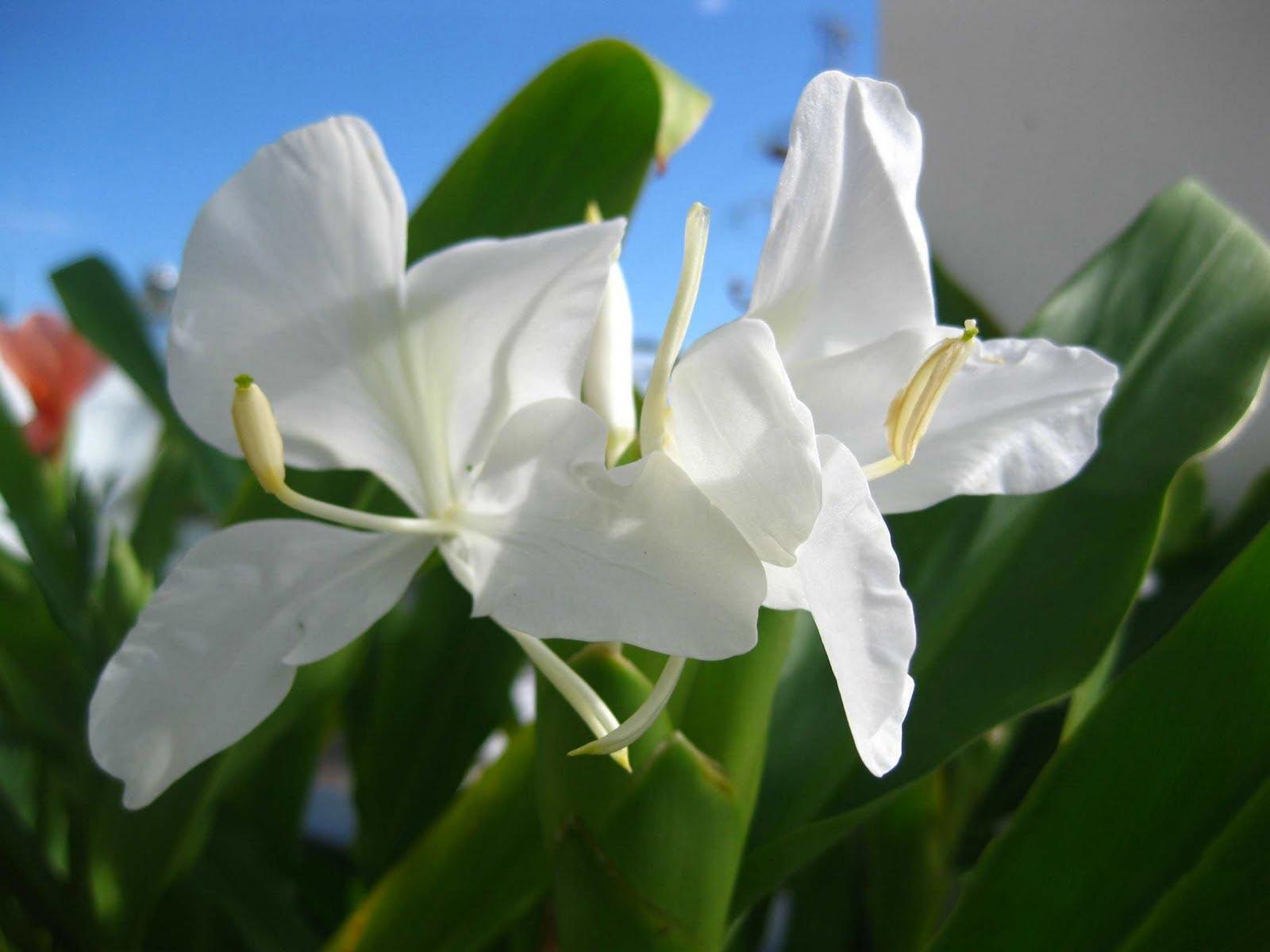 hoa bạch yến - hoa tươi văn nam 1