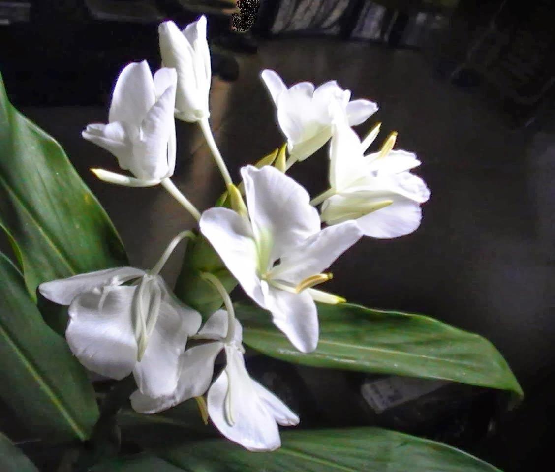 hoa bạch yến - hoa tươi văn nam 2