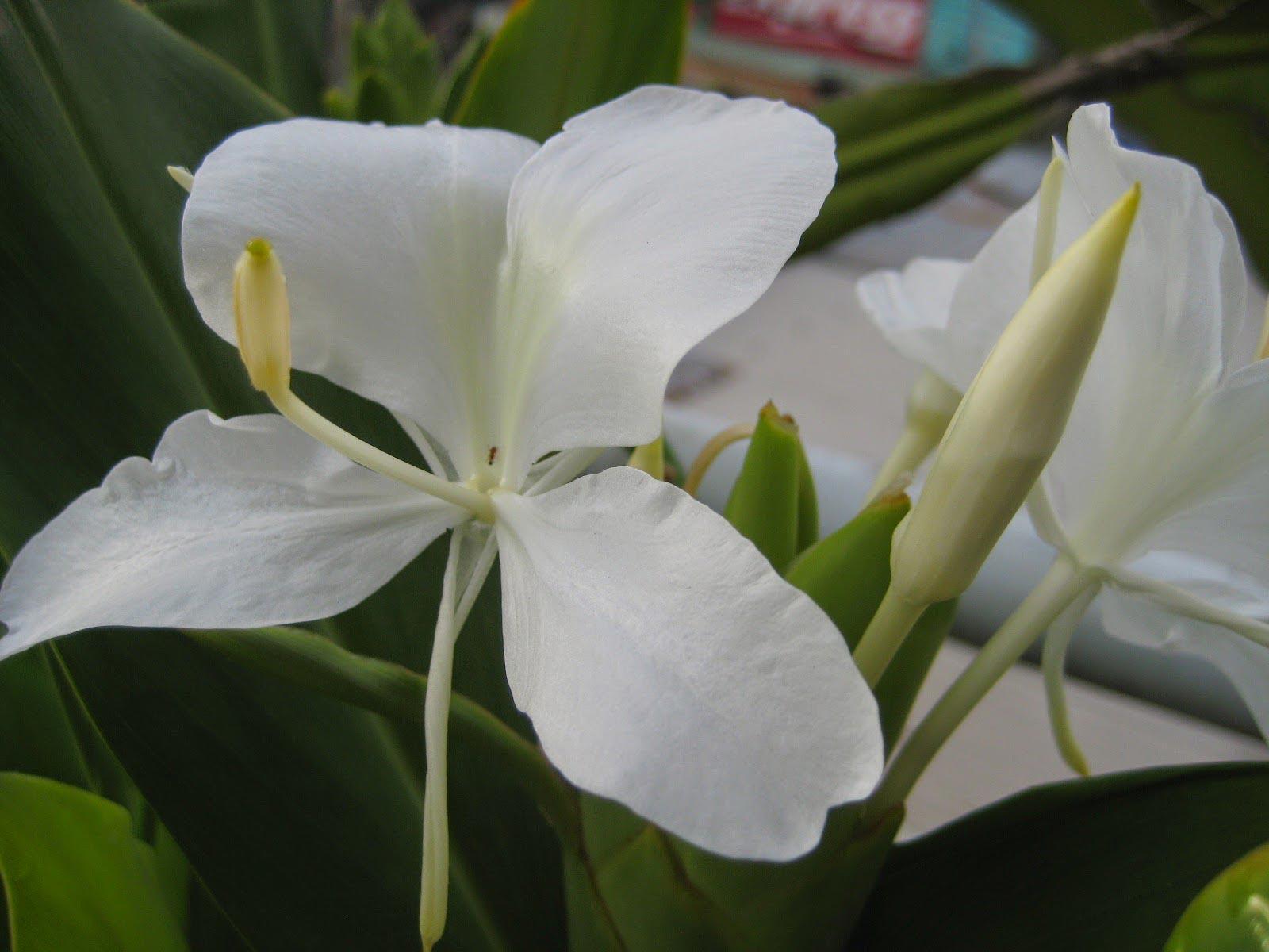 hoa bạch yến - hoa tươi văn nam 3
