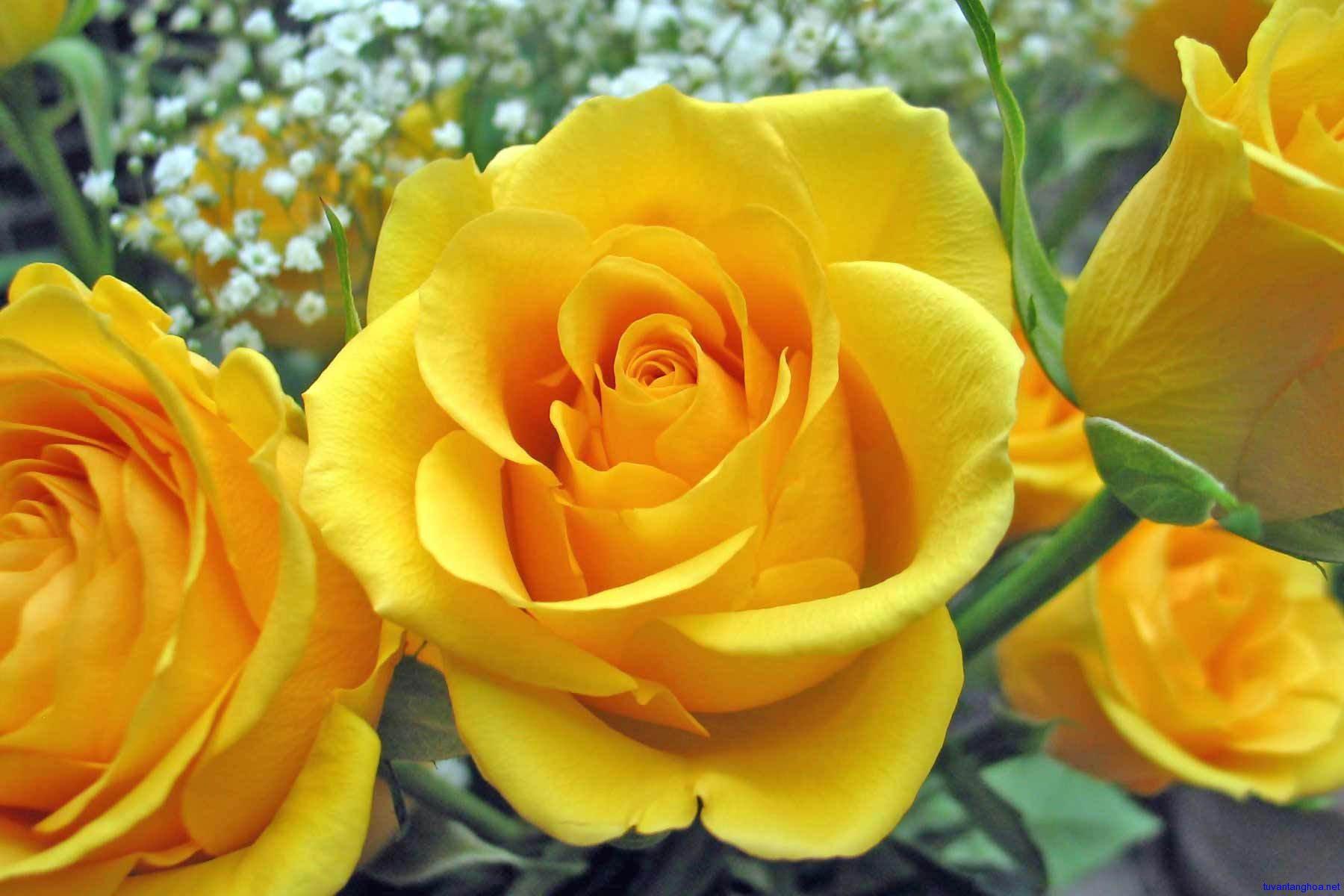 hoa hồng vàng cô đơn