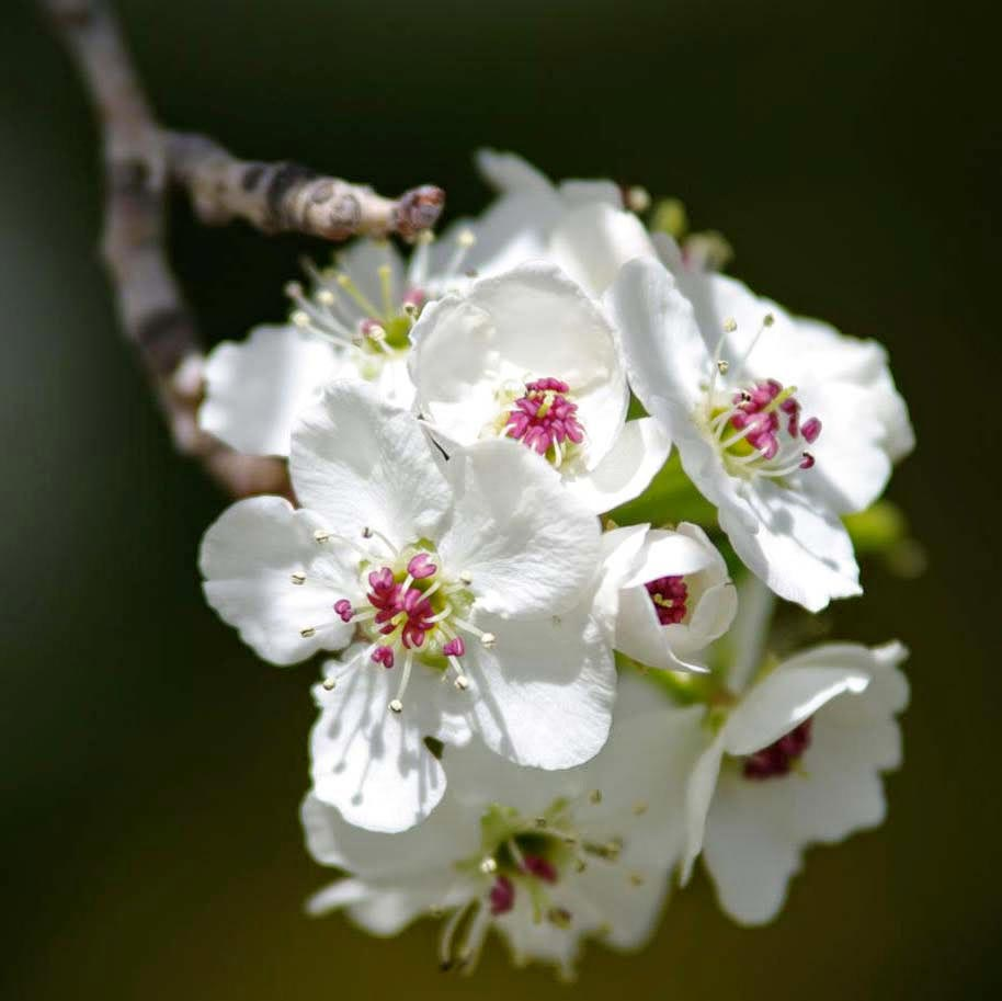 hoa lê tây bắc 1