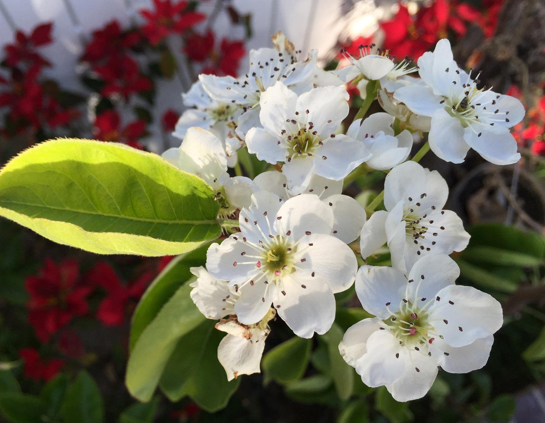 hoa lê tây bắc 3