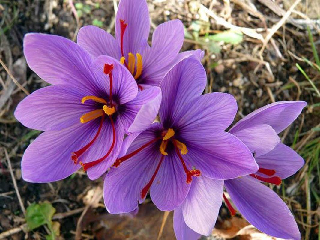 hoa nghệ tây - hoa tươi văn nam 1