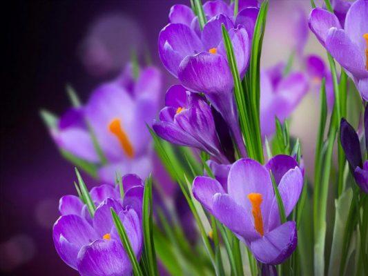 hoa nghệ tây - hoa tươi văn nam 3