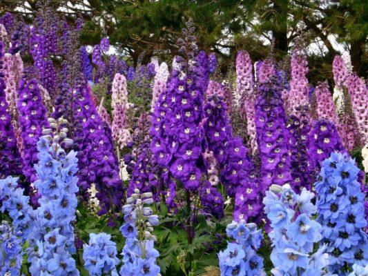 hoa phi yến - hoa tươi văn nam 1