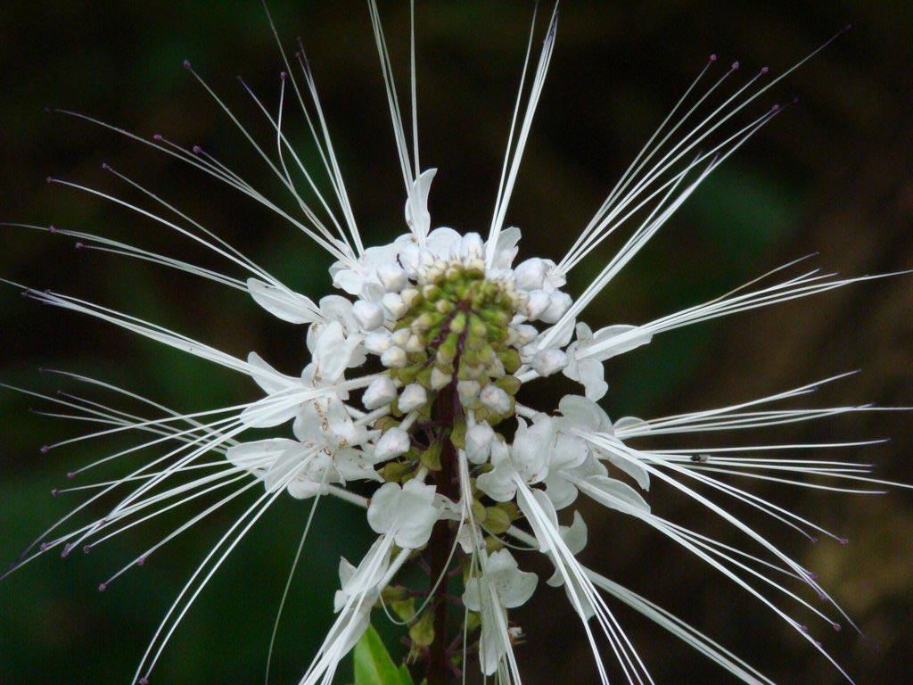 hoa râu mèo - hoa tươi văn nam 3