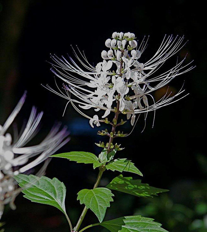 hoa râu mèo - hoa tươi văn nam 4