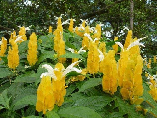 hoa rồng nhã ngọc 3