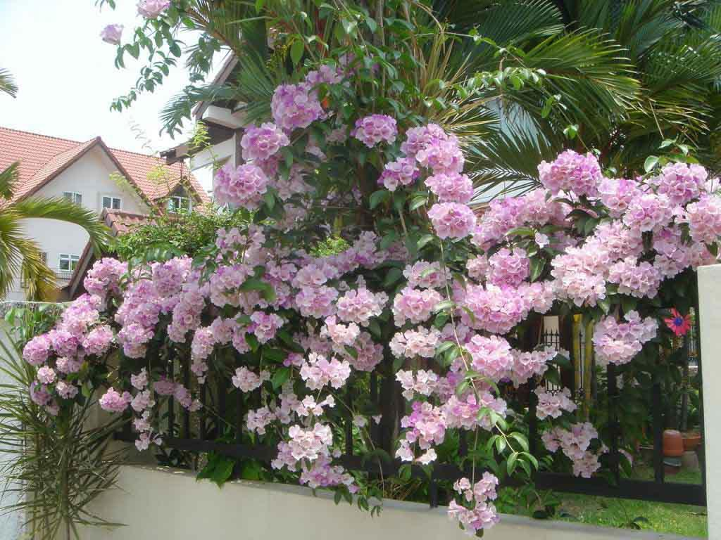 hoa tỏi - hoa tươi văn nam 2