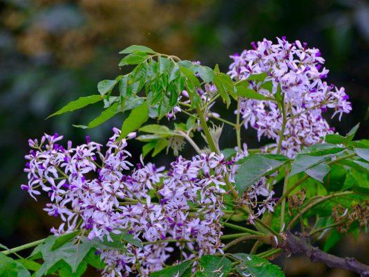 hoa xoan - hoa tươi văn nam 1