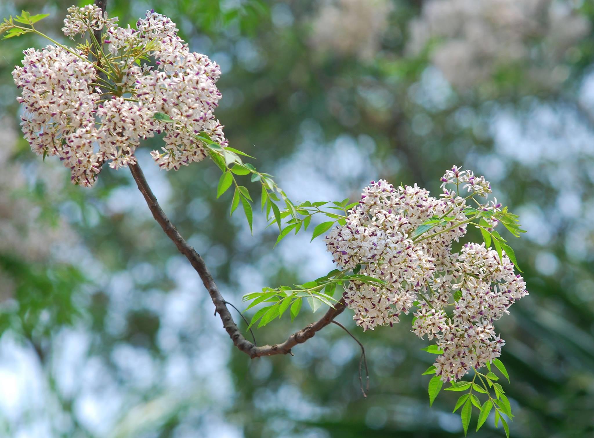 hoa xoan - hoa tươi văn nam 3