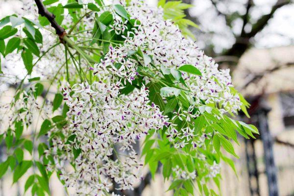hoa xoan - hoa tươi văn nam 4