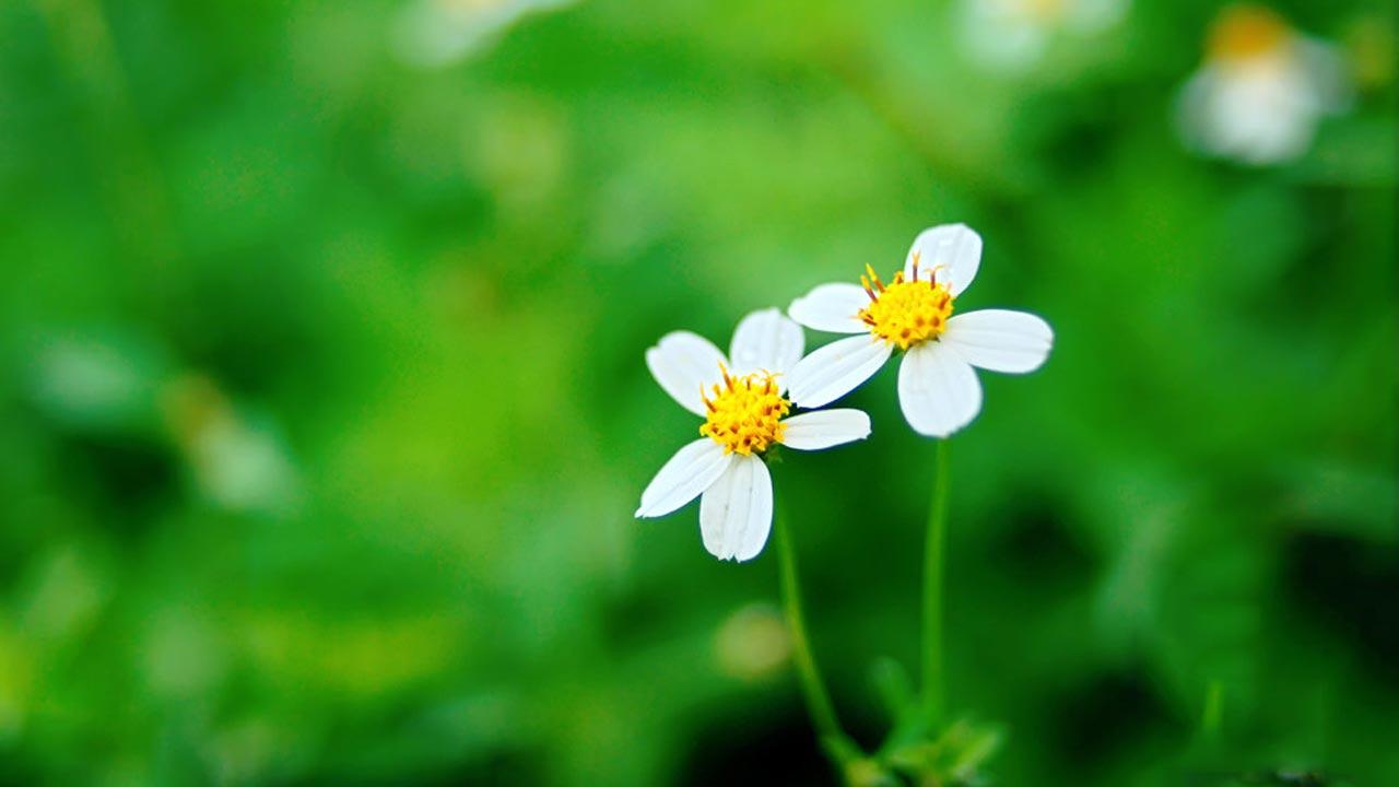 hoa xuyến chi - hoa tươi văn nam 1