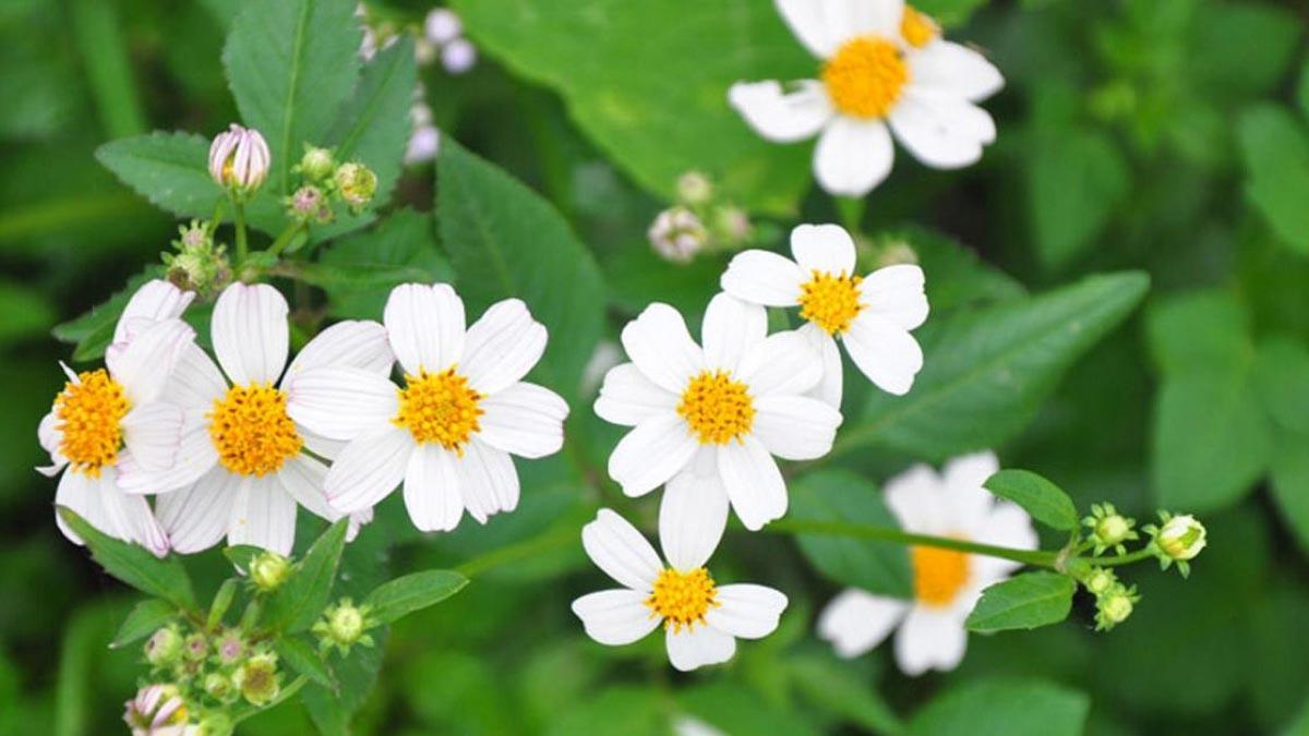hoa xuyến chi - hoa tươi văn nam 2