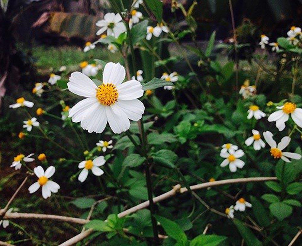 Hoa xuyến chi - hoa tươi văn nam 3