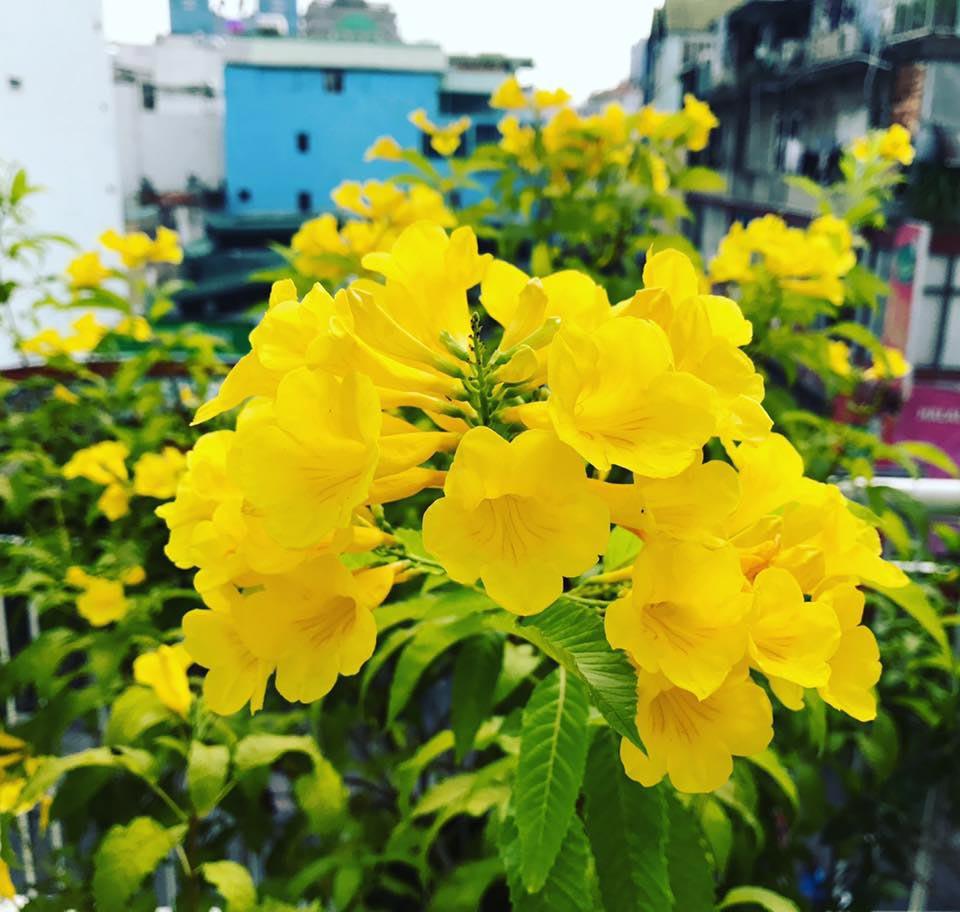 cây hoa chuông vàng 1