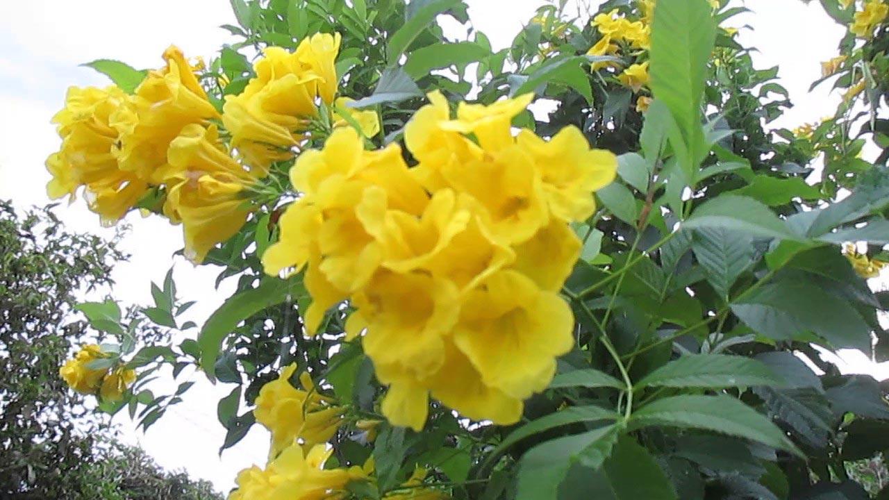cây hoa chuông vàng 2