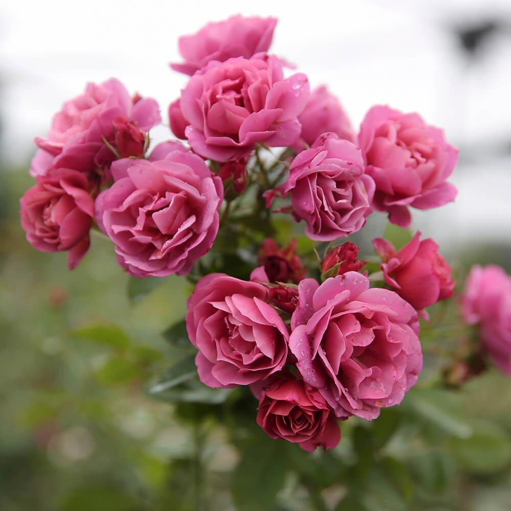 hoa tặng mẹ 9