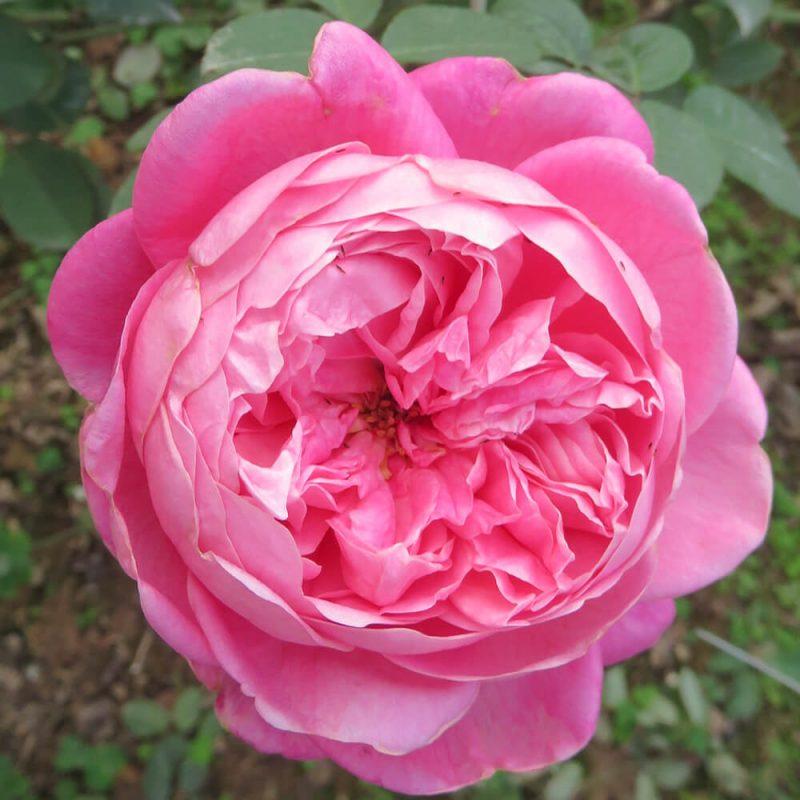Hoa hồng cổ Sapa đẹp nhất