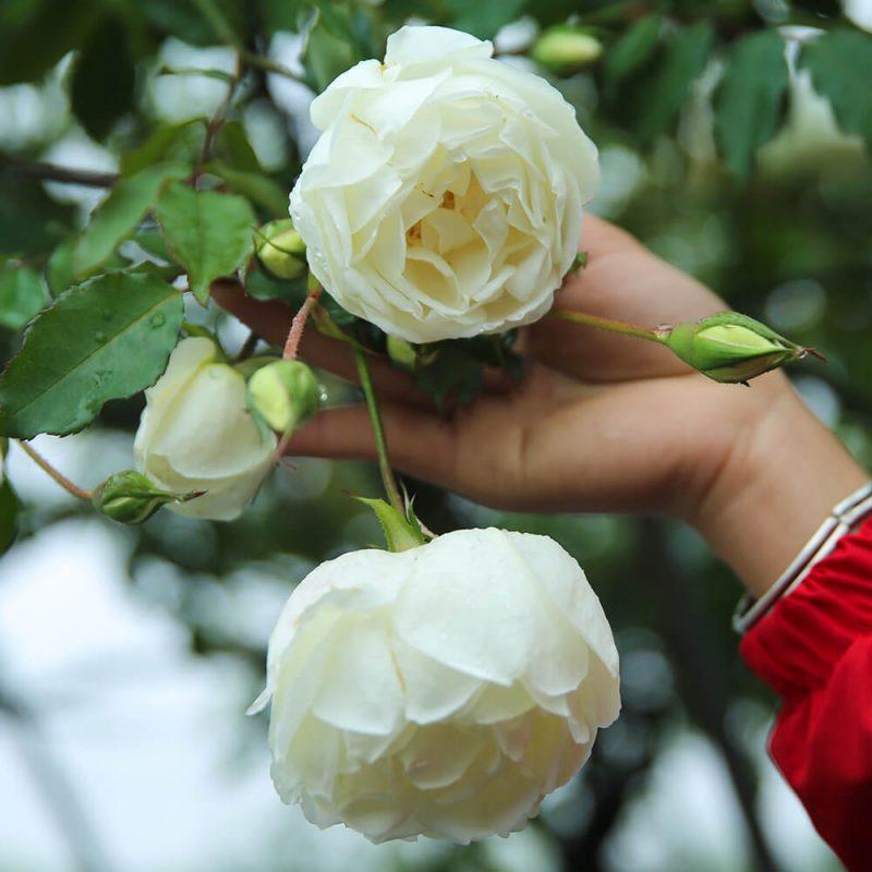 Hoa hồng cổ bạch ho đẹp