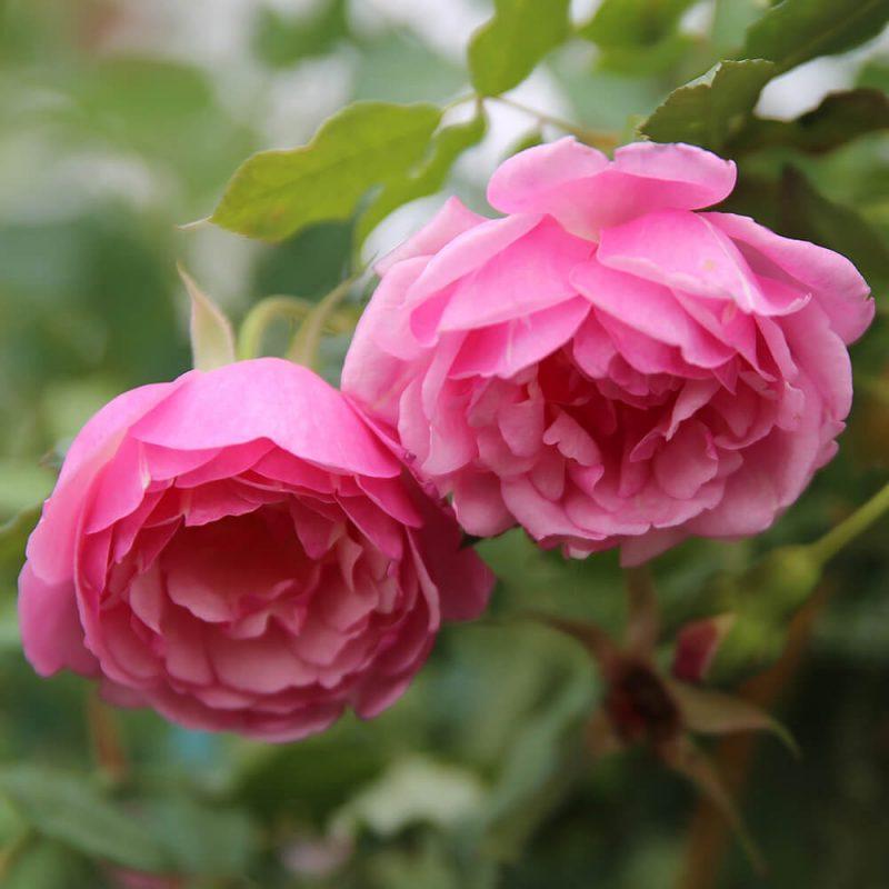 Hoa hồng điều cổ đẹp nhất