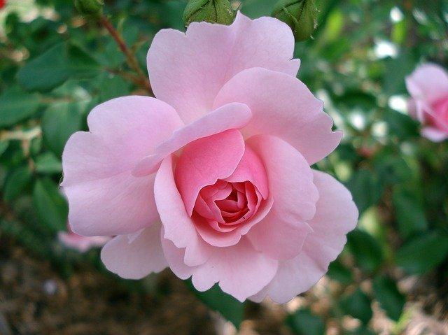 Hoa hồng dùng để chăm sóc sắc đẹp