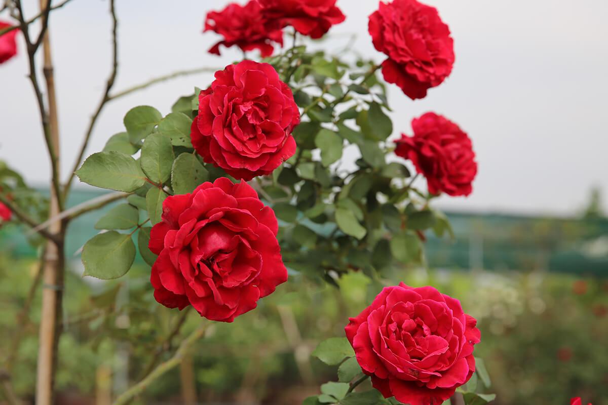 Hoa hồng leo Hải Phòng đẹp nhất
