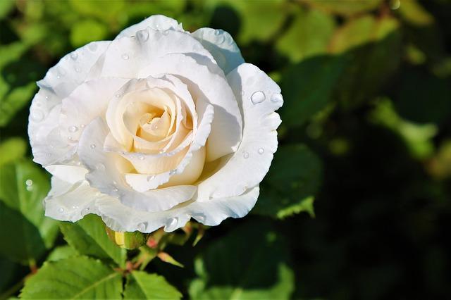 Ý nghĩa hoa hồng theo văn hoa, địa phương